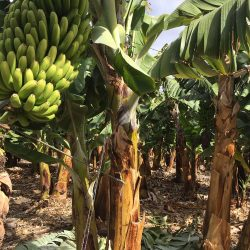 Teneriffa-Oats-Bananen
