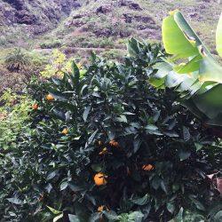 Teneriffa-Oats-Orangen